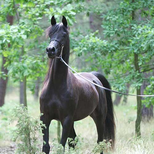 Black Hakima